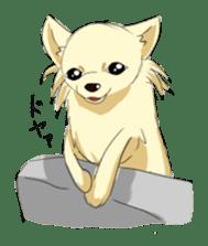 Long Coat Chihuahua sticker #270164