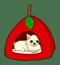 Long Coat Chihuahua sticker #270165