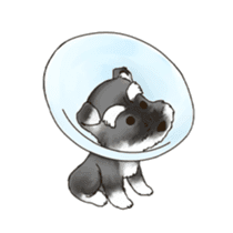 "Miniature Schnauzer ""MOMO"" sticker #294463"