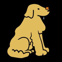 Chobi the GoldenRetriever