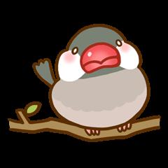 Chubby java sparrow