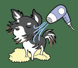 Long coat Chihuahua sticker #421622