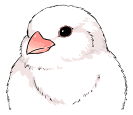 Java sparrow brother sticker #533071