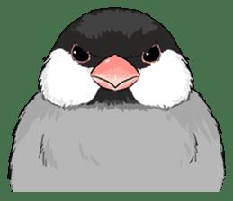 Java sparrow brother sticker #533072