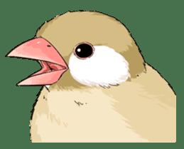 Java sparrow brother sticker #533073