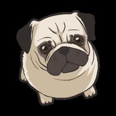 Hi! Pug