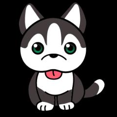 Sora, the cute siberian husky