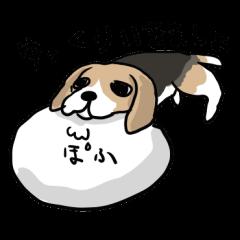 Beagle Hapi