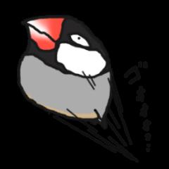 Evil eyes Java sparrow