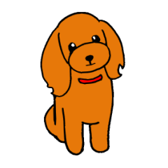 Sweet toy poodle Joshua