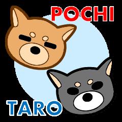 Shiba Inu Pochi and Taro.