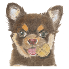 Yamato-kun of Maro eyebrow Chihuahua(En)