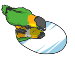 Pionites leucogaster&Black-headed Caique sticker #3978602