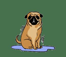 Shy of pug sticker #4087886
