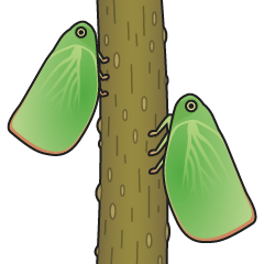 Green flatid planthopper