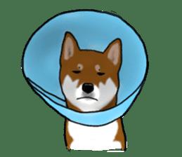 Shiba Inu Momo & his Friends in English sticker #5706403