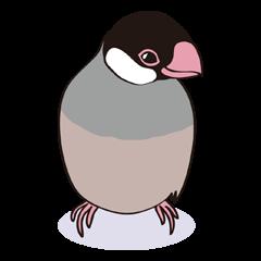 Chubby the Java Sparrow