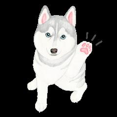 Siberian Husky Sticker(English)