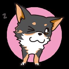Kou-chang Chihuahua