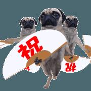 สติ๊กเกอร์ไลน์ Pug congratulations sticker.
