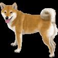 さすが!柴犬(よく使う言葉編) | LINE STORE