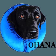 Black Labrador OHANA