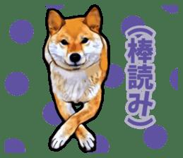 Funny face Japanese Shiba inu sticker sticker #12434735