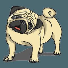 Fawn Pug2