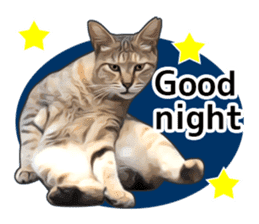 Various brown tabby cats. (ENGLISH) sticker #13131404