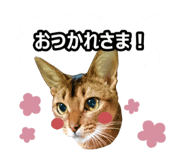CAT-Abyssinian3 photo Ver sticker #13403946