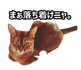 CAT-Abyssinian3 photo Ver sticker #13403948