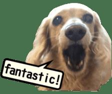 [Live-action 16 set] Dachshund[Photo] sticker #13576057