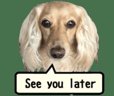 [Live-action 16 set] Dachshund[Photo] sticker #13576061