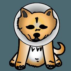 Shiba with a collar