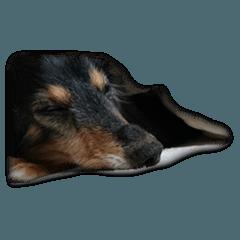 dachshund-maro