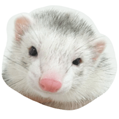 Ferret photos of sticker
