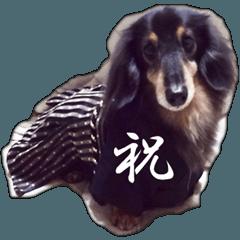 dachshund-maro2