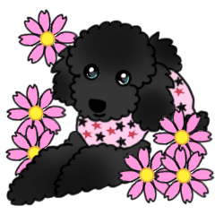 COO-chan: Black Toy Poodle