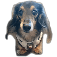 dachshund-maro3