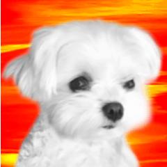 Maltese dog in a dawn.-part2-