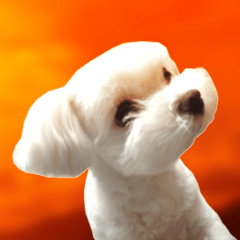 Maltese dog in a dawn.(English)