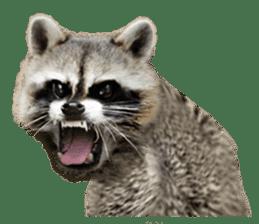 Naughty raccoon(English) sticker #14156405