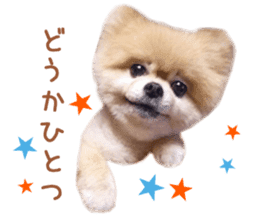 Real DOG Pomeranian -BOO- sticker #14377833