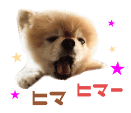 Real DOG Pomeranian -BOO- sticker #14377834