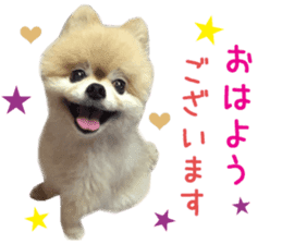 Real DOG Pomeranian -BOO- sticker #14377837
