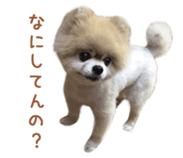 Real DOG Pomeranian -BOO- sticker #14377839