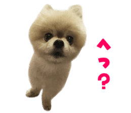 Real DOG Pomeranian -BOO- sticker #14377844