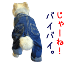 Real DOG Pomeranian -BOO- sticker #14377845