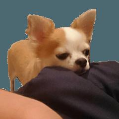 Lovery Chihuahua's SANTA