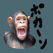 สติ๊กเกอร์ไลน์ Chimpanzee Sticker